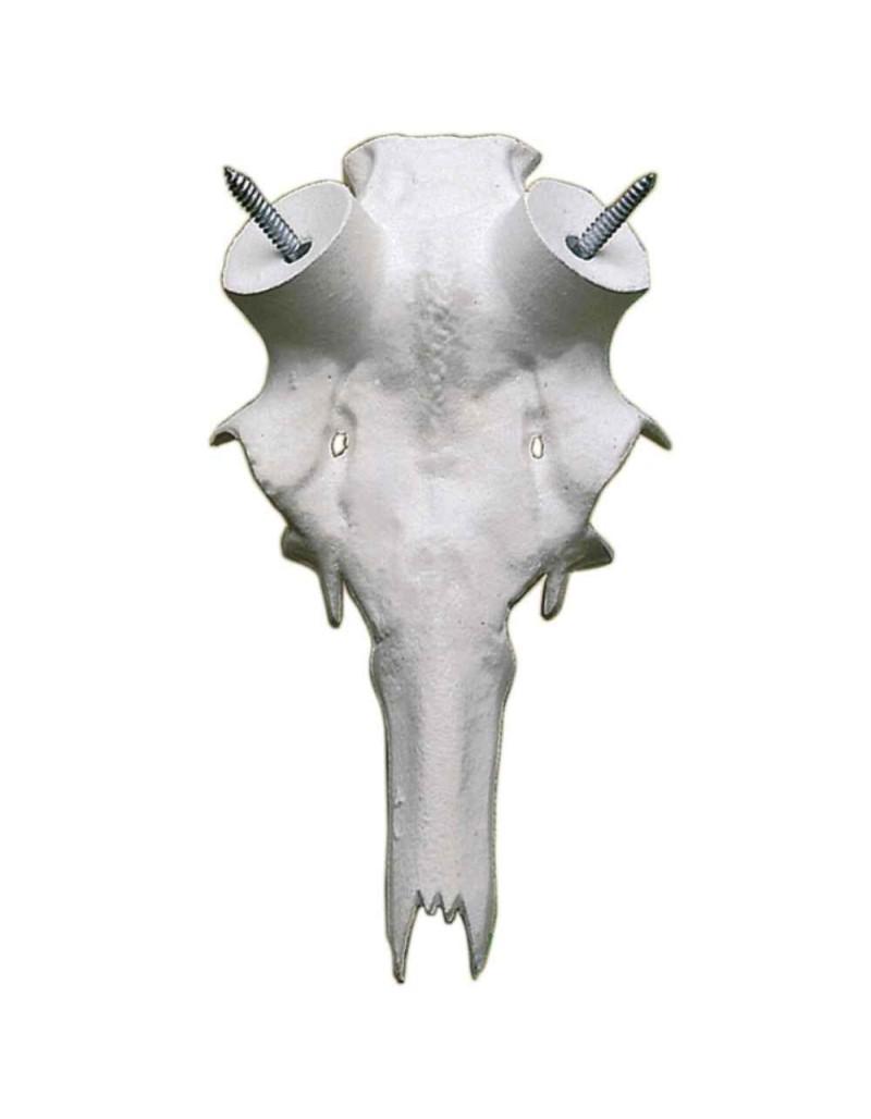 Base craneo ciervo  cornamenta